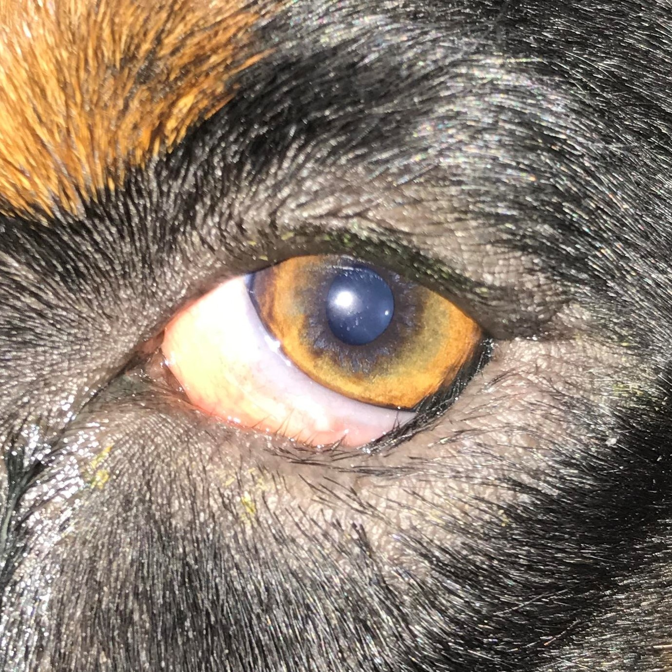 Denver Eyelid Specialist: Animal Eye Treatment Case Photos